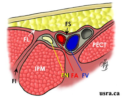 femoral nerve block, Muscles